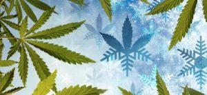 TOP 5 des variétés autofleurissantes pour les climats froids