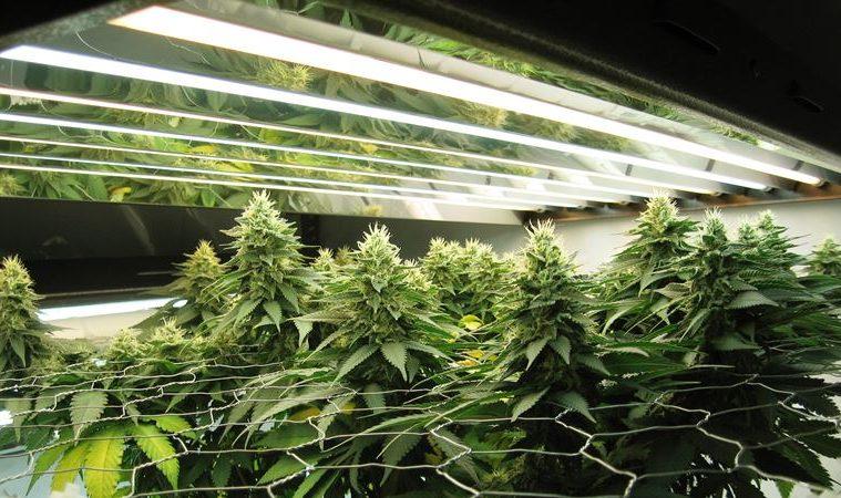 lumiere de croissance pour cannabis autofloraison