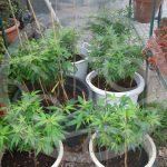 Les avantages de la culture du cannabis extérieur