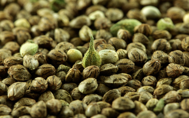 faire germer graines cannabis