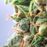 Les 10 étapes pour obtenir du bon cannabis