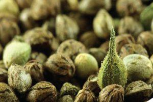Autofloraison et production de semences de cannabis