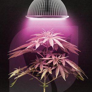 La lumière pour les plantes de cannabis autoflower