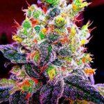 Guide des souches de cannabis à floraison automatique