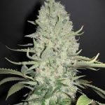 Tout savoir sur le cannabis White Widow